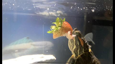 UnderwayTurtle Eating Strawberry