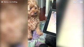 Cette chienne devient folle lorsqu'elle joue sur la tablette