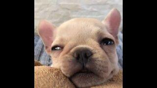 Adorable Puppy Falling Asleep