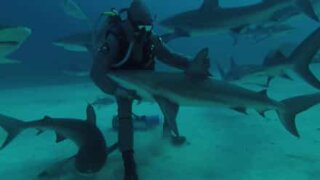 Shark charmer shows his hypnosis technique