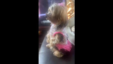 Goofy Yorkie totally forgets how to be a dog