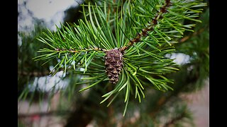Great Recession making Christmas trees more expensive this year