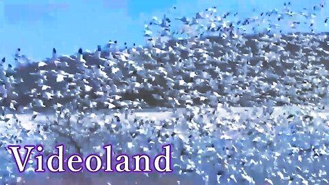 Panorama of Snow Geese
