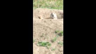 Chirping prairie dogs
