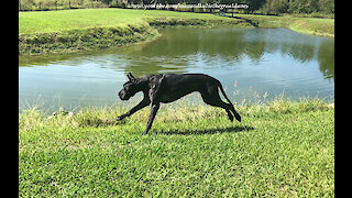 Great Danes Enjoy Playful Fence Scratching Slobbering Zoomie Fun