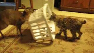 A Fawn Traps A Cat Under A Laundry Basket
