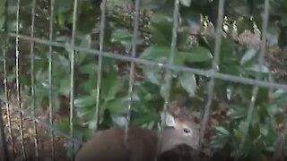 Baby deer stuck in fence rescued successfully by officer