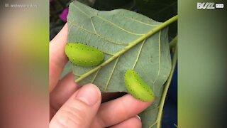 Deux insectes vert fluo dévorent une feuille d'avocatier