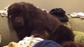 Guilty Newfoundland tries to hide behind pillow