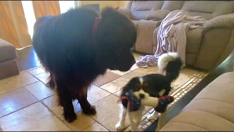 Newfoundland and Cavalier show off their daily routine