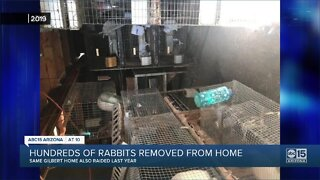 Hundreds of rabbits removed from Gilbert home