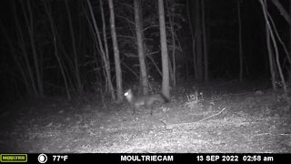 Playful fox caught chasing huge bug on trail cam