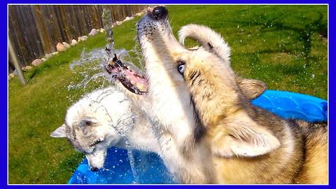 Huskies beyond excited for pool time!