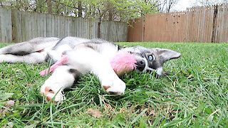 Husky Puppy That Is Raised By Cats