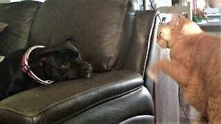 Rescued bull terrier attempts to befriend grumpy cat