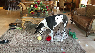 Great Dane Has Fun Chasing And Howling At His Favorite Ball