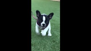 Cutest little puppy clip in slow motion