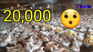 Chicken farm   chicken farm work  