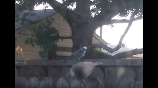 Feral Parakeet Living Wild in Texas (3rd Year) ❤