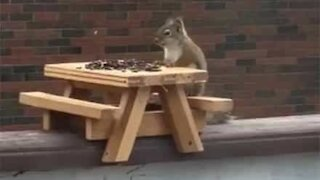 Squirrel shows impeccable table manners