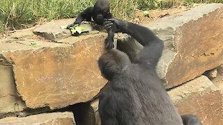 Gorilla mom loves slinging baby on her back