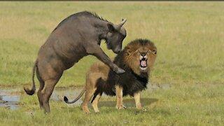 Buffalo killed lion Lion attack buffalo.