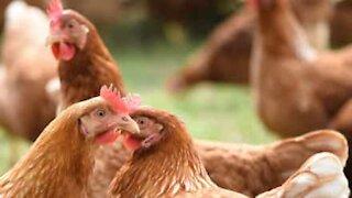 Bonde får varm velkomst av hønene når han kommer hjem