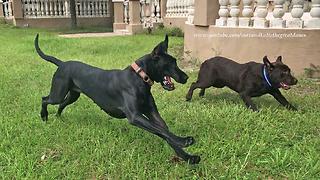 Great Dane runs zoomies with Labrador friends