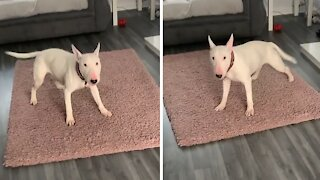 Dog starts day off with zoomies every single morning