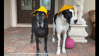 Great Danes don't want to get their rain hats wet