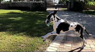 Great Dane puppy makes progress with newspaper delivery