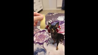 Very Small Dog Eating Cheese