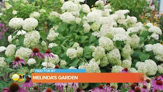 Melinda's Garden Moment – the best hydrangeas for your garden