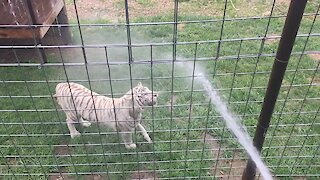 Tiger plays with water hose just like a doggy!