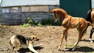 Newborn foal wants to play with nervous German Shepherd