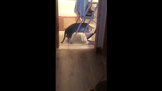 Cat makes it difficult for owner to hang up decorations