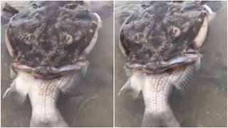 Pazzesco: pesce soffoca mangiando un altro pesce