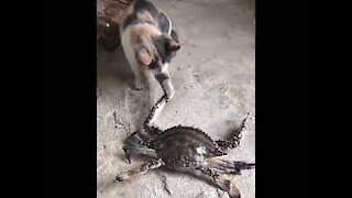cat playing with crab