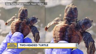 Turtle found with two heads
