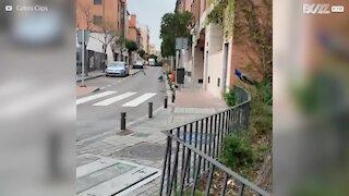 Pavões invadem ruas de Madrid