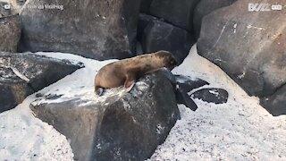 Cucciolo di leone marino esplora la spiaggia per la prima volta