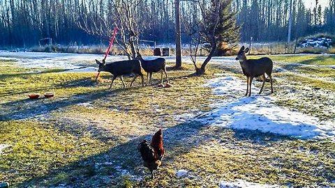 Curious baby deer follows chickens through yard