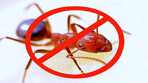 Repel Mosquitoes By Rubbing Ants on Skin?