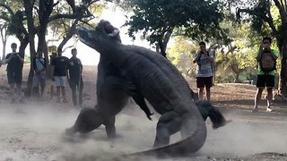Two massive komodo dragons fight