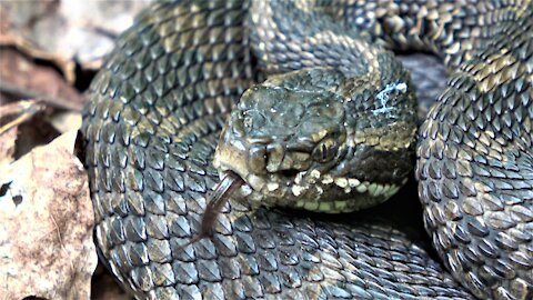 Family & dogs encounter large rattlesnake coiled on trail