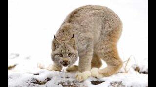 Lynx family plays in a backyard in Alaska