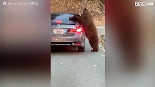 Un ours attaque une voiture en Californie