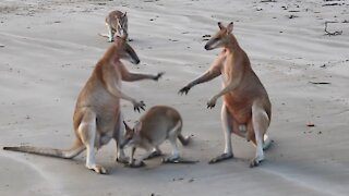 Amazing Wallaby Fight on the Beach