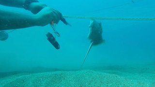 Watch: hero diver saves young stingray from net