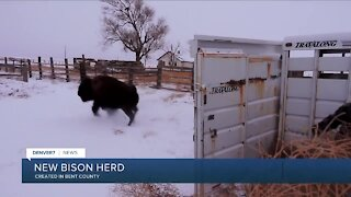 New Bison herd moved to Bent County